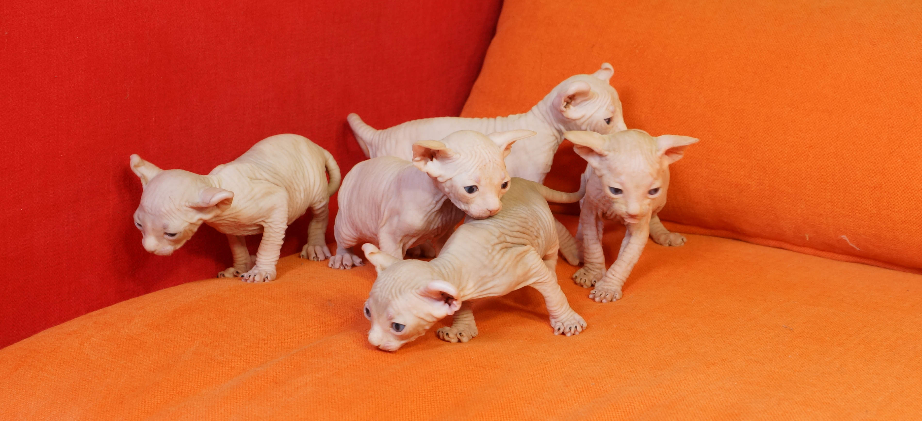 Curiouspinks - Breeder of Sphynx, Bambino, Elf and Dwelf - Curiouspinks